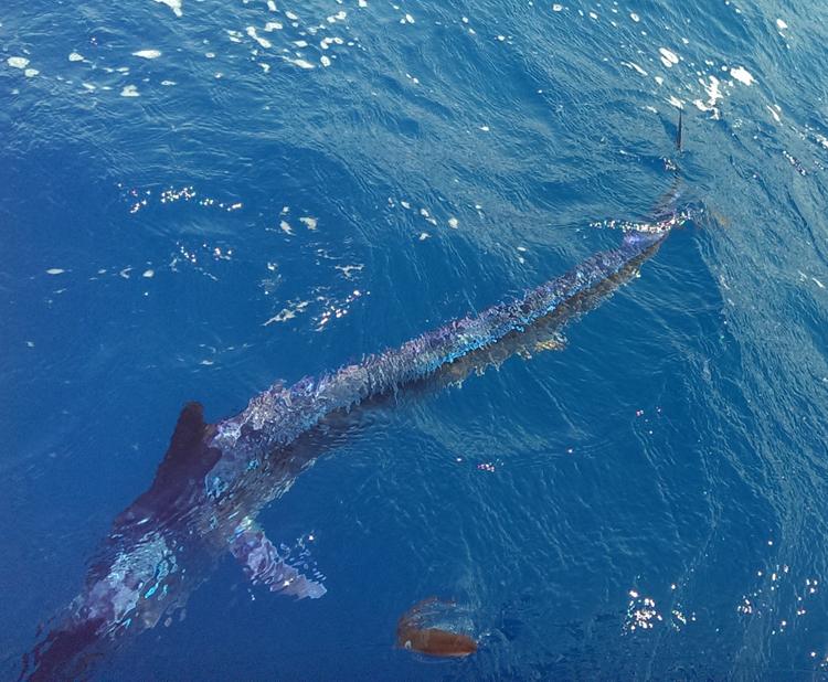 Der Blaue Marlin schimmert silber und violett