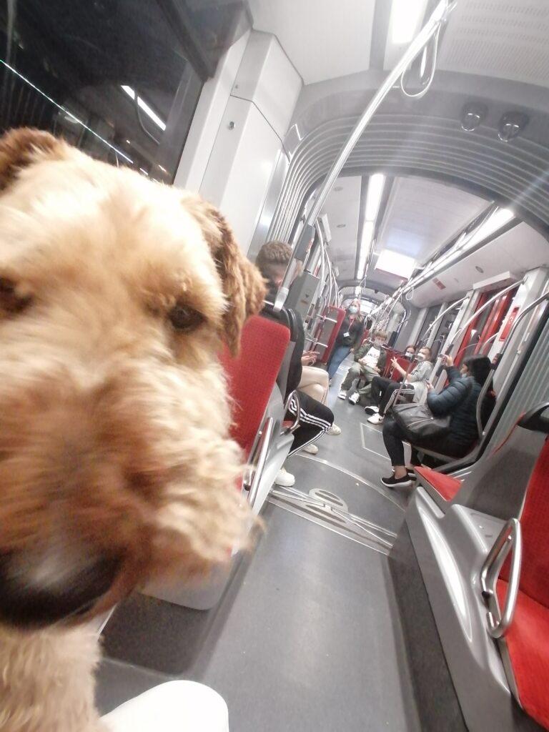 Hund Theo in der Straßenbahn - zum ersten Mal im Leben © Susanne Böhling